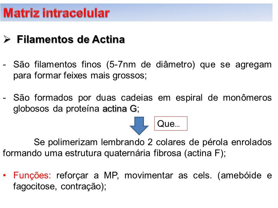 Matriz intracelular Filamentos de Actina