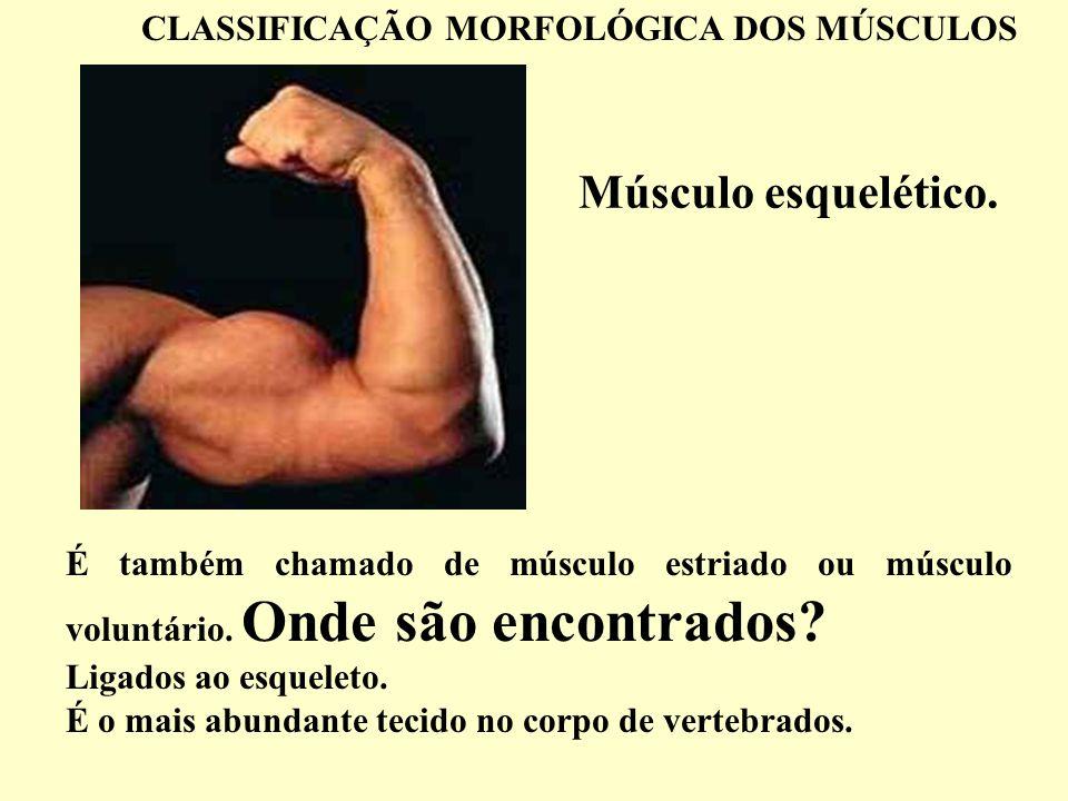 Músculo esquelético. CLASSIFICAÇÃO MORFOLÓGICA DOS MÚSCULOS