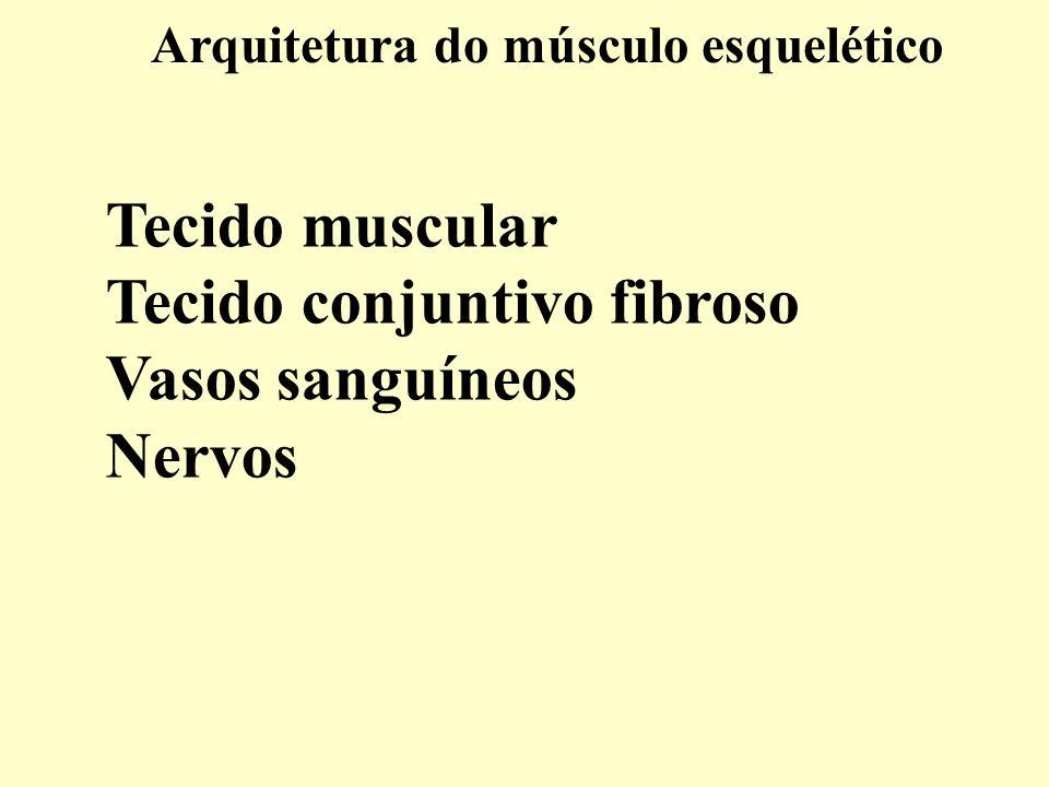 Tecido conjuntivo fibroso Vasos sanguíneos Nervos