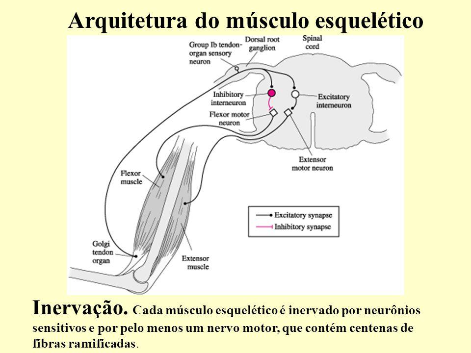 Arquitetura do músculo esquelético