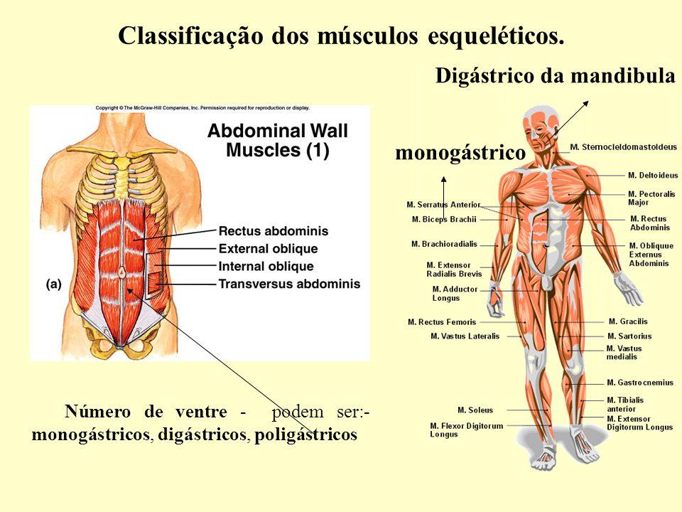 Fantástico Músculo Esquelético Etiquetado Patrón - Imágenes de ...