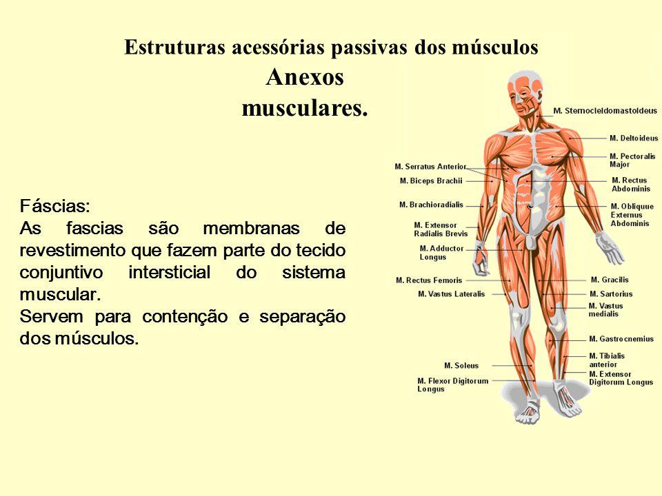 Anexos musculares. Estruturas acessórias passivas dos músculos