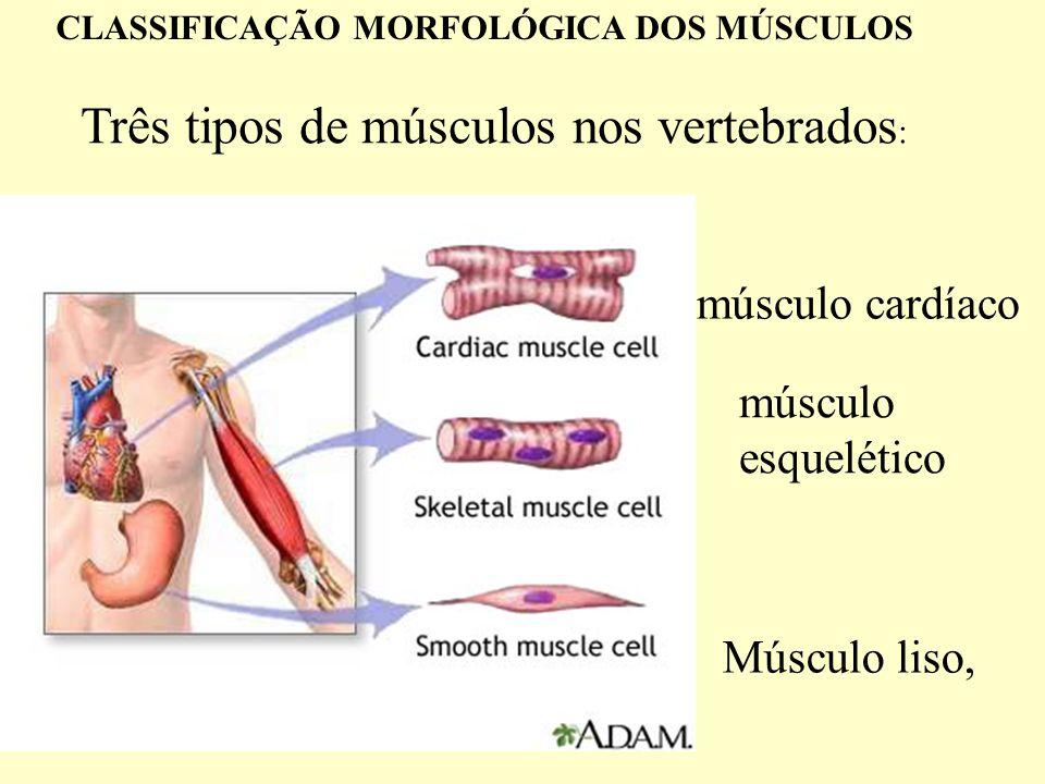 Três tipos de músculos nos vertebrados: