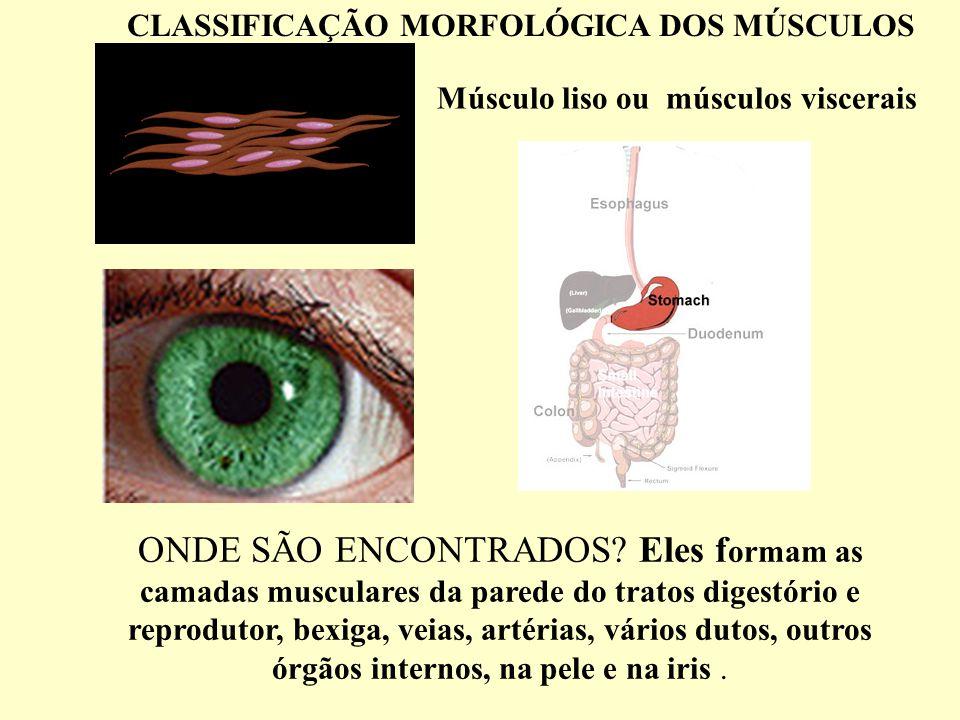 CLASSIFICAÇÃO MORFOLÓGICA DOS MÚSCULOS