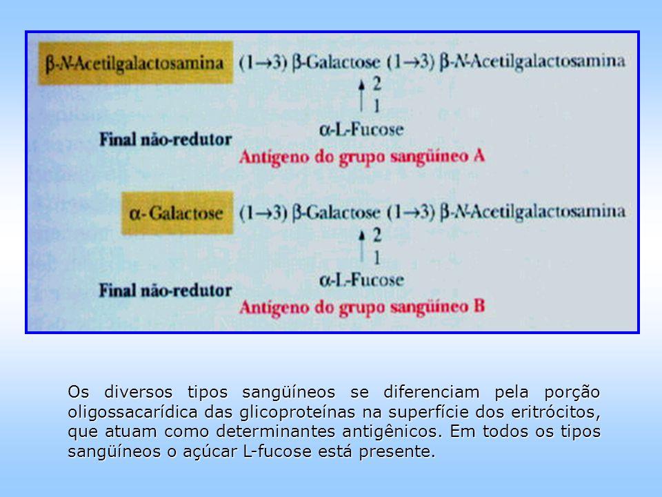 Os diversos tipos sangüíneos se diferenciam pela porção oligossacarídica das glicoproteínas na superfície dos eritrócitos, que atuam como determinantes antigênicos.