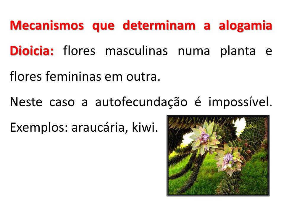 Mecanismos que determinam a alogamia Dioicia: flores masculinas numa planta e flores femininas em outra.