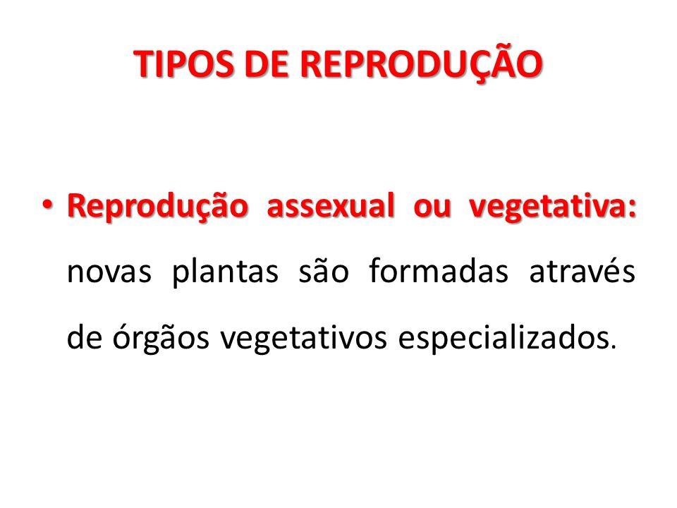 TIPOS DE REPRODUÇÃO Reprodução assexual ou vegetativa: novas plantas são formadas através de órgãos vegetativos especializados.