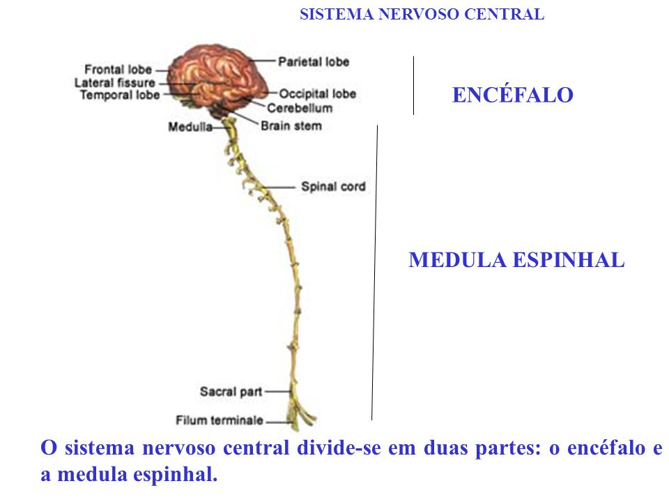 ENCÉFALO MEDULA ESPINHAL