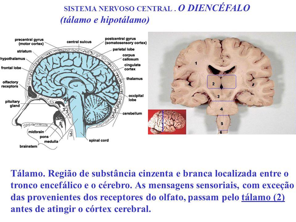 SISTEMA NERVOSO CENTRAL . O DIENCÉFALO (tálamo e hipotálamo)