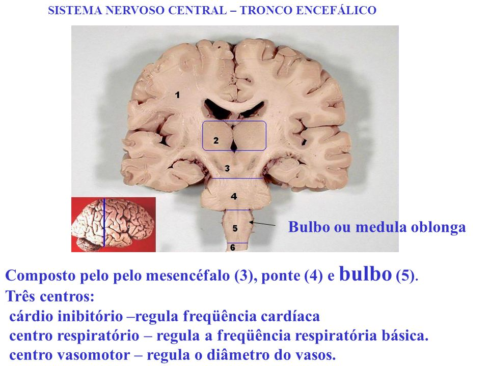Bulbo ou medula oblonga