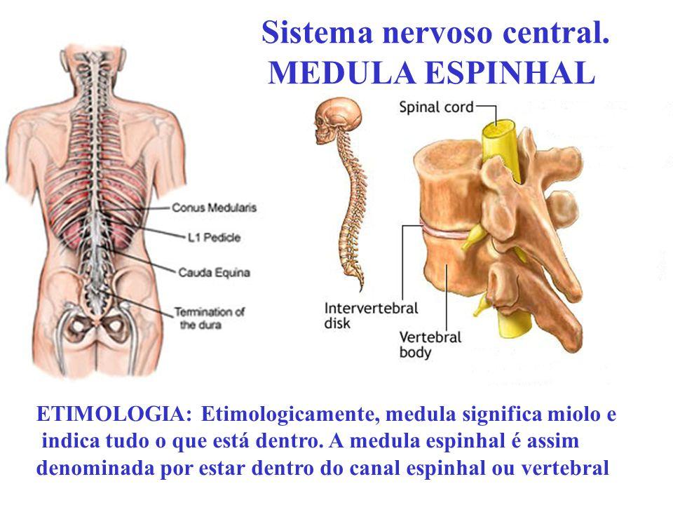 Sistema nervoso central. MEDULA ESPINHAL