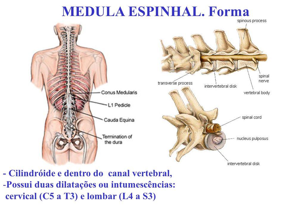 MEDULA ESPINHAL. Forma - Cilindróide e dentro do canal vertebral,