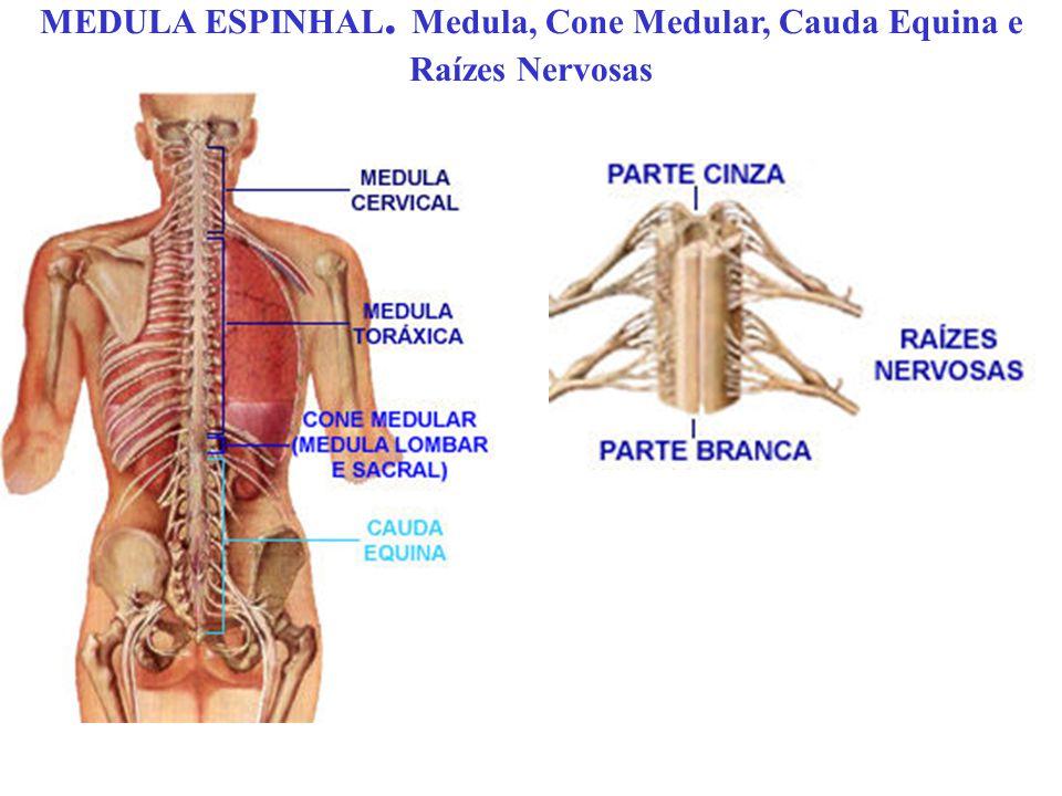 MEDULA ESPINHAL. Medula, Cone Medular, Cauda Equina e Raízes Nervosas