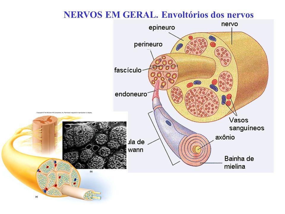 NERVOS EM GERAL. Envoltórios dos nervos