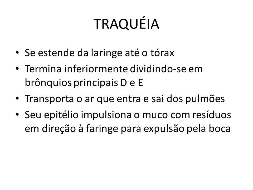 TRAQUÉIA Se estende da laringe até o tórax
