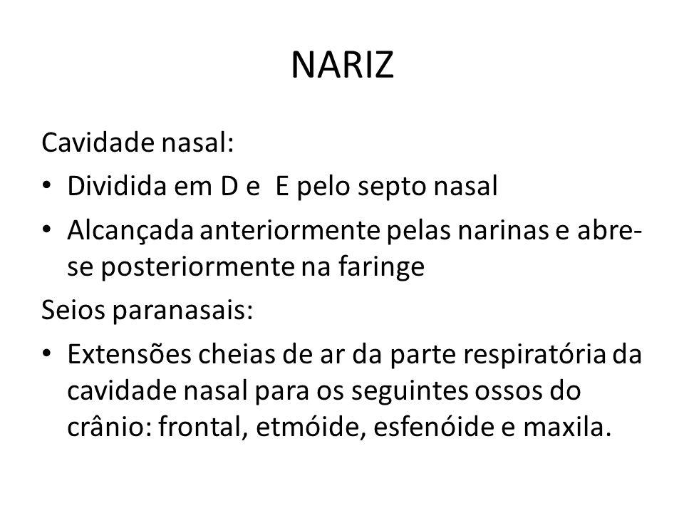 NARIZ Cavidade nasal: Dividida em D e E pelo septo nasal