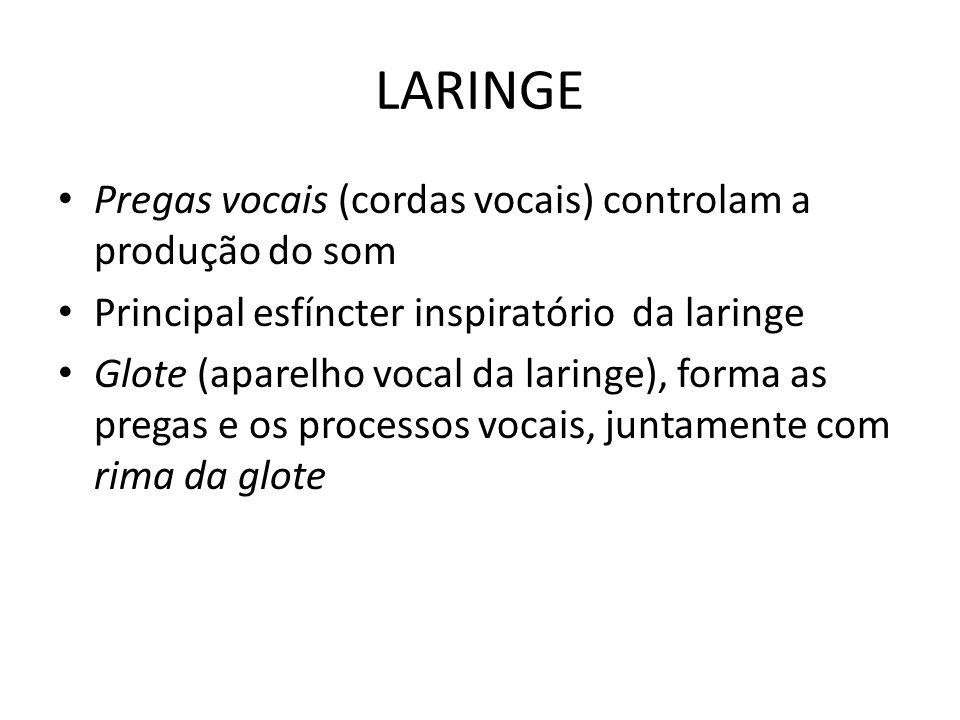 LARINGE Pregas vocais (cordas vocais) controlam a produção do som