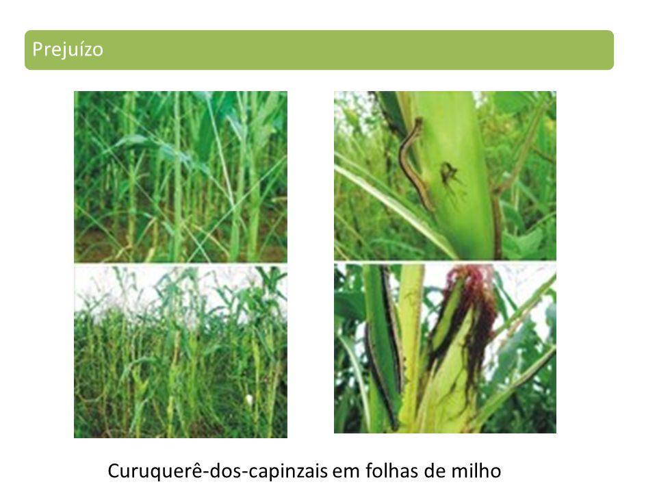 Prejuízo Curuquerê-dos-capinzais em folhas de milho