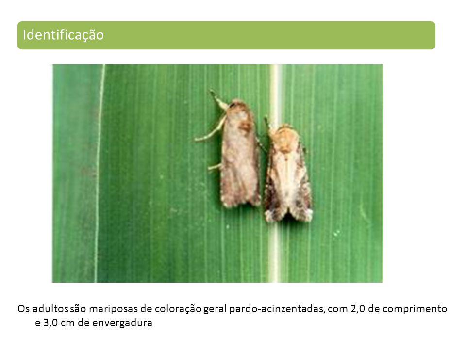Identificação Os adultos são mariposas de coloração geral pardo-acinzentadas, com 2,0 de comprimento e 3,0 cm de envergadura.