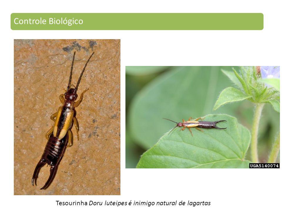 Tesourinha Doru luteipes é inimigo natural de lagartas