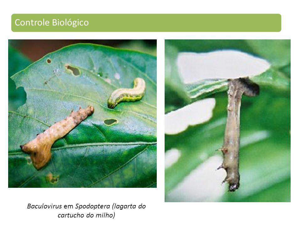 Baculovirus em Spodoptera (lagarta do cartucho do milho)