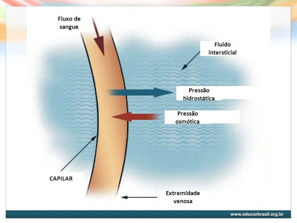 Fluxo de sangue Fluido intersticial. Pressão hidrostática. Pressão osmótica. Extremidade venosa.