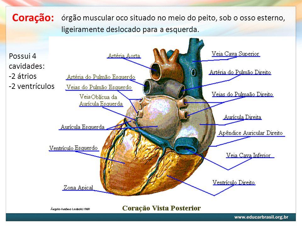 Coração: órgão muscular oco situado no meio do peito, sob o osso esterno, ligeiramente deslocado para a esquerda.