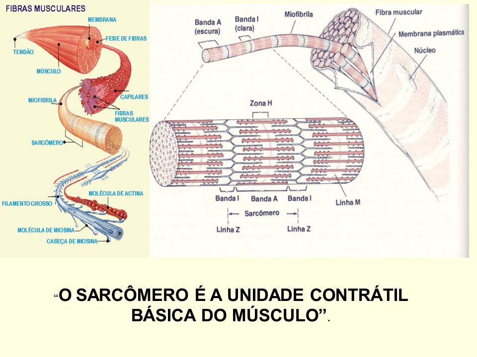 O SARCÔMERO É A UNIDADE CONTRÁTIL BÁSICA DO MÚSCULO .