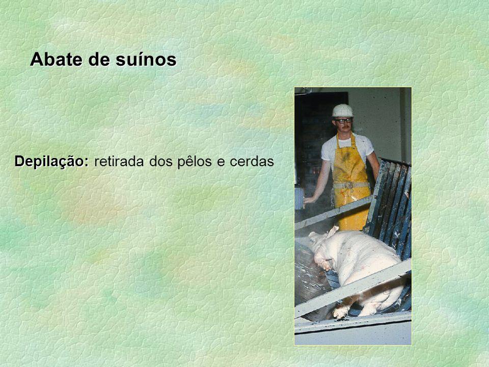 Abate de suínos Depilação: retirada dos pêlos e cerdas