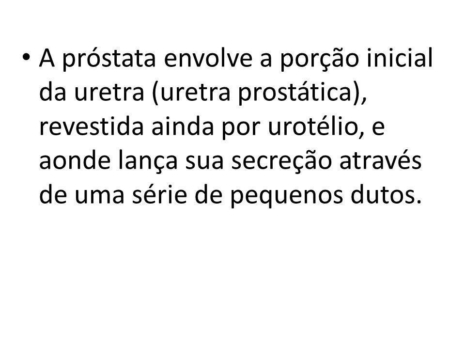 A próstata envolve a porção inicial da uretra (uretra prostática), revestida ainda por urotélio, e aonde lança sua secreção através de uma série de pequenos dutos.