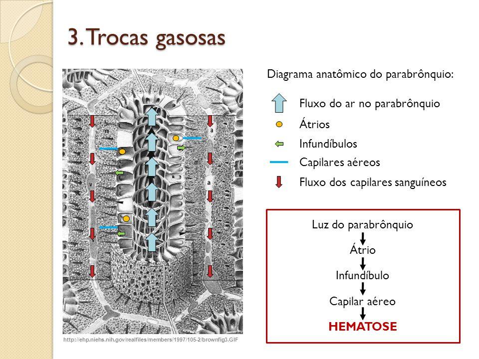 Diagrama anatômico do parabrônquio: