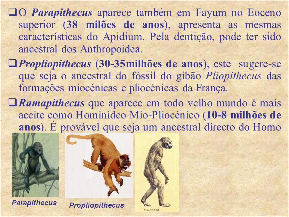 O Parapithecus aparece também em Fayum no Eoceno superior (38 milões de anos), apresenta as mesmas características do Apidium. Pela dentição, pode ter sido ancestral dos Anthropoidea.