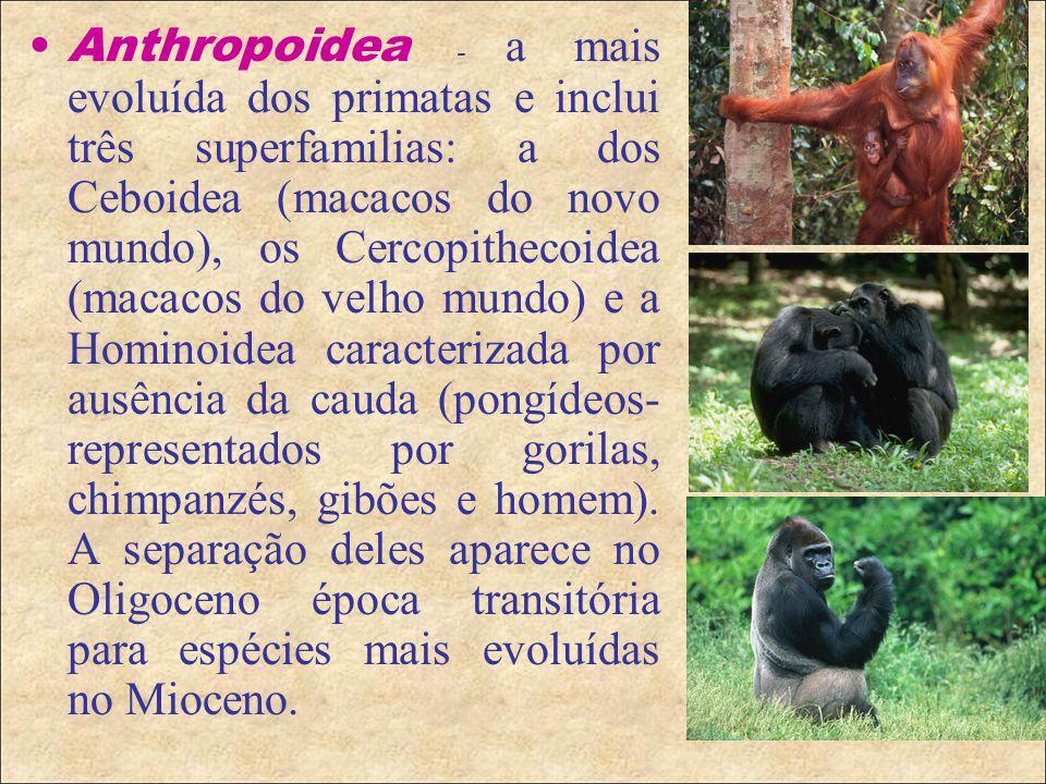 Anthropoidea - a mais evoluída dos primatas e inclui três superfamilias: a dos Ceboidea (macacos do novo mundo), os Cercopithecoidea (macacos do velho mundo) e a Hominoidea caracterizada por ausência da cauda (pongídeos-representados por gorilas, chimpanzés, gibões e homem).