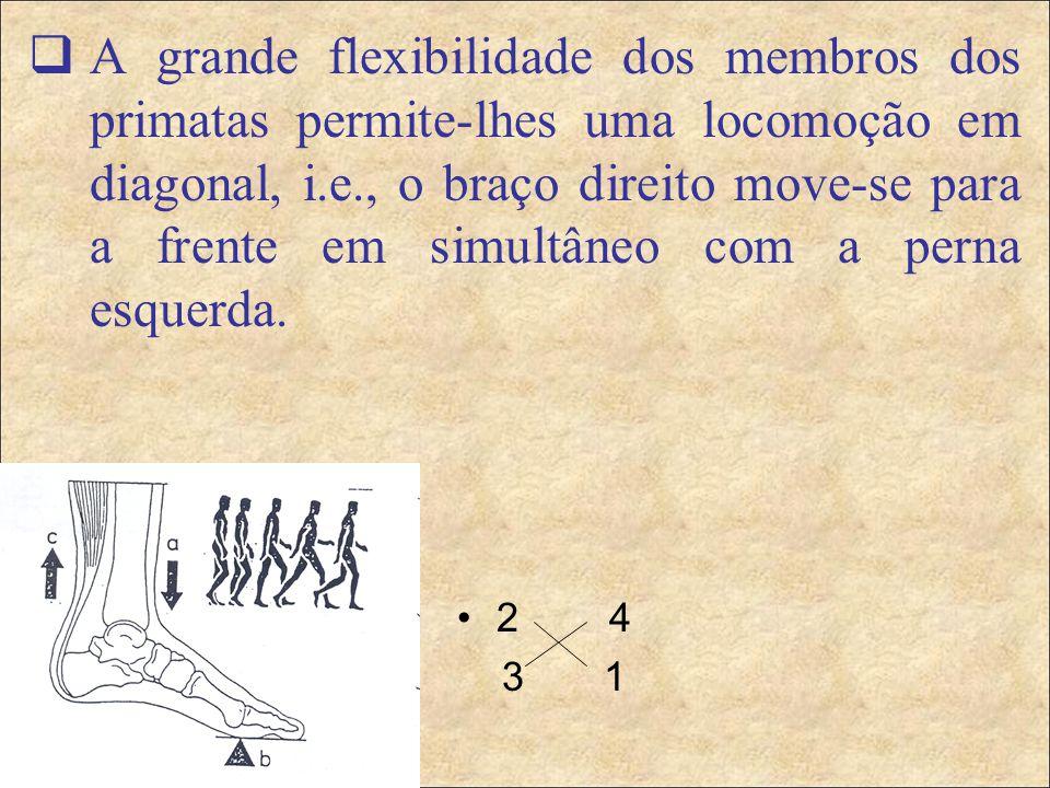 A grande flexibilidade dos membros dos primatas permite-lhes uma locomoção em diagonal, i.e., o braço direito move-se para a frente em simultâneo com a perna esquerda.