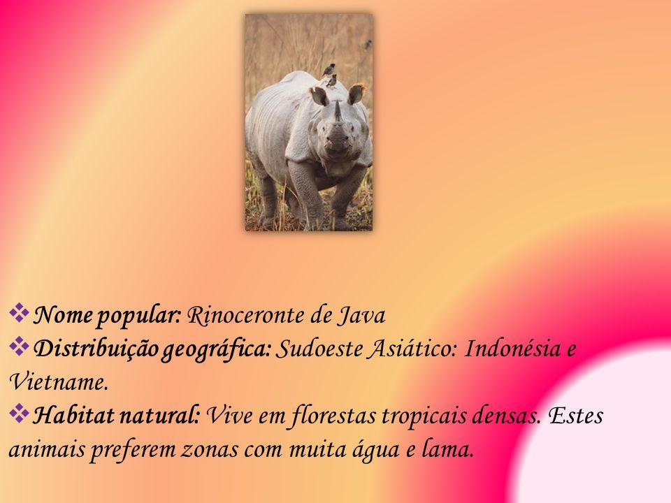 Nome popular: Rinoceronte de Java