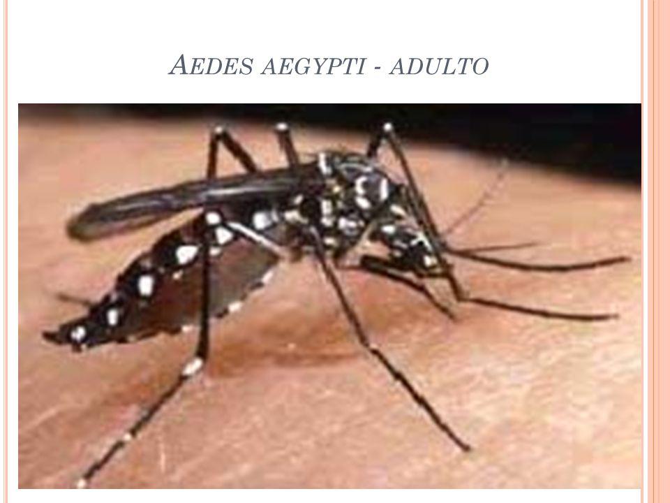 Aedes aegypti - adulto