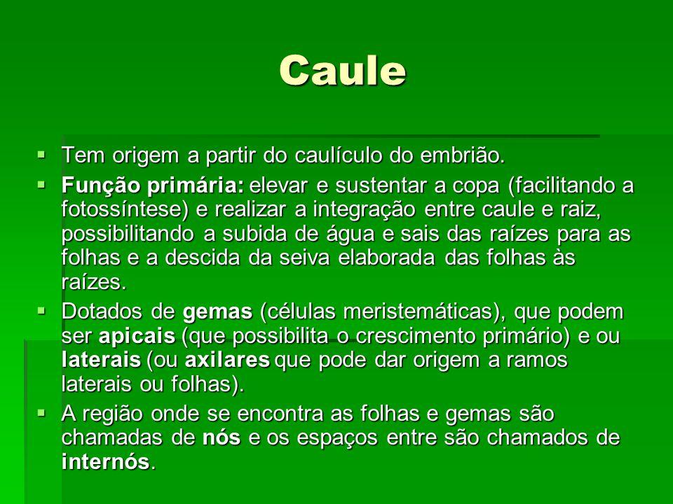 Caule Tem origem a partir do caulículo do embrião.