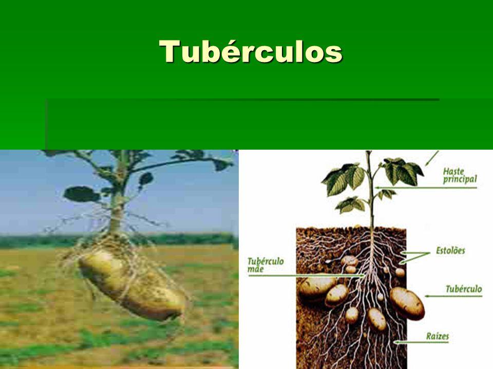 Tubérculos