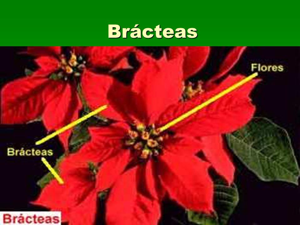 Brácteas