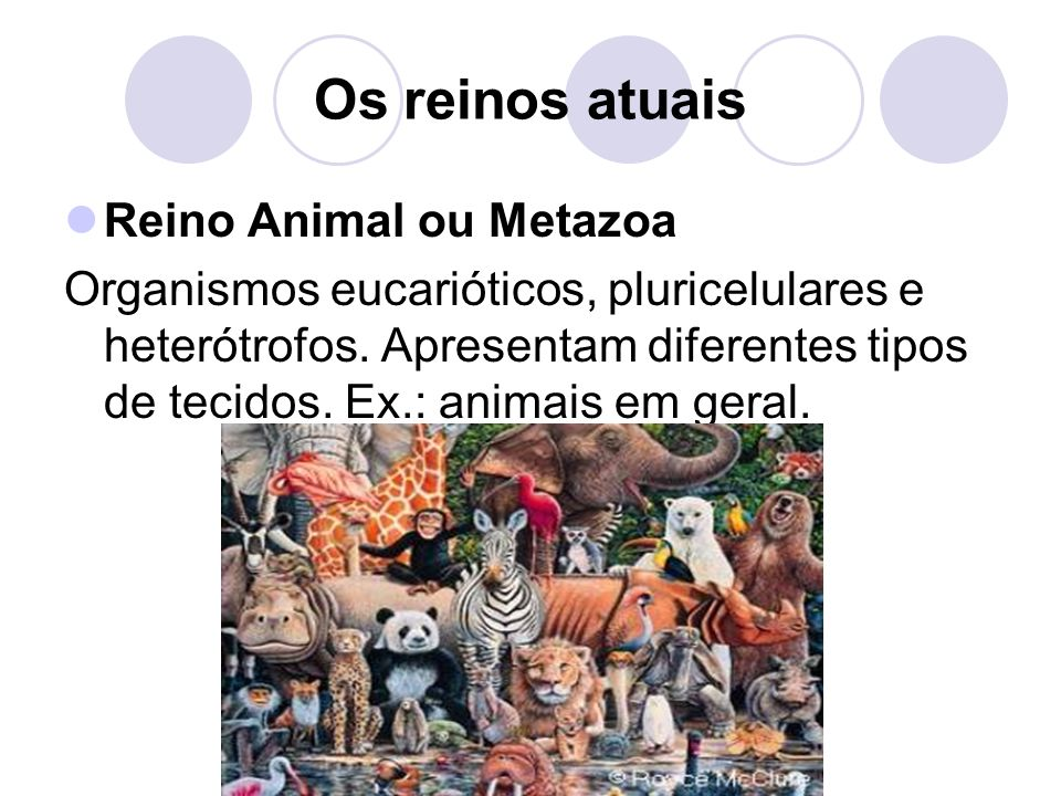 Os reinos atuais Reino Animal ou Metazoa