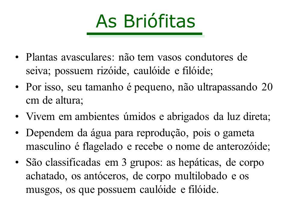 As Briófitas Plantas avasculares: não tem vasos condutores de seiva; possuem rizóide, caulóide e filóide;