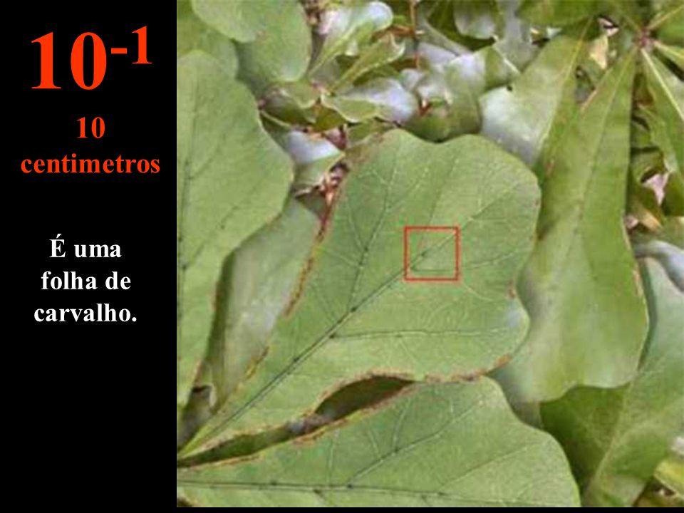 10-1 10 centimetros É uma folha de carvalho.