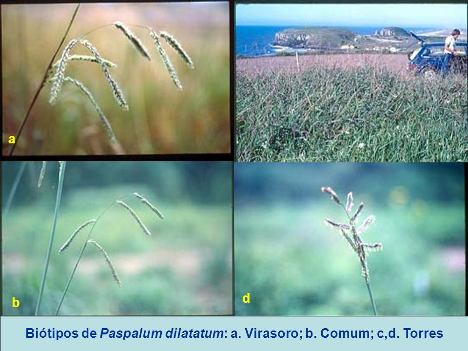 Biótipos de Paspalum dilatatum: a. Virasoro; b. Comum; c,d. Torres