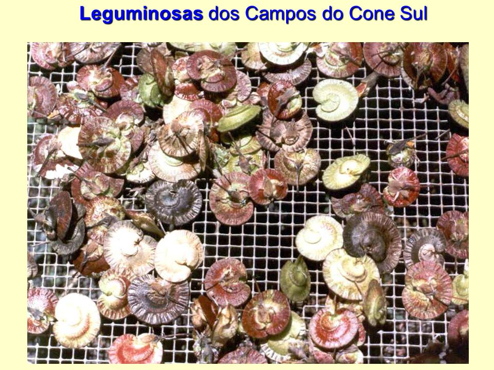 Leguminosas dos Campos do Cone Sul