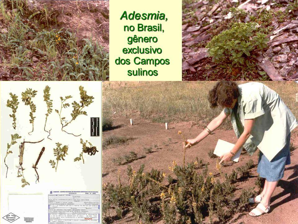 Adesmia, no Brasil, gênero exclusivo dos Campos sulinos