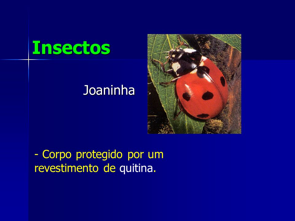 Insectos Joaninha Corpo protegido por um revestimento de quitina.