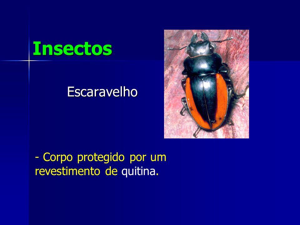 Insectos Escaravelho Corpo protegido por um revestimento de quitina.