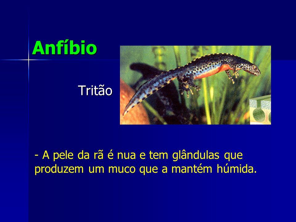 Anfíbio Tritão A pele da rã é nua e tem glândulas que