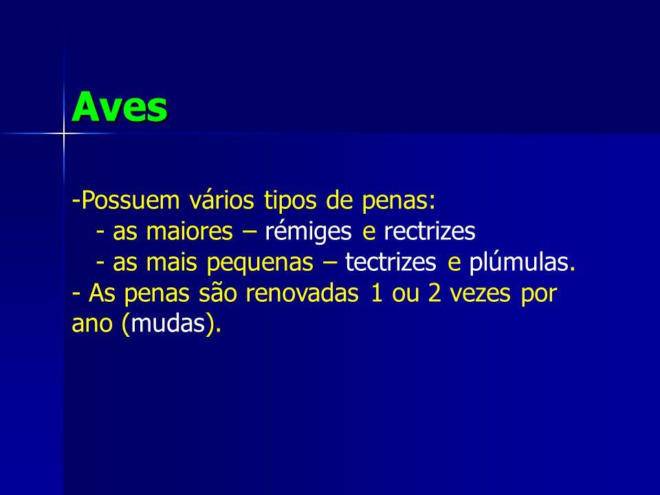 Aves Possuem vários tipos de penas: - as maiores – rémiges e rectrizes