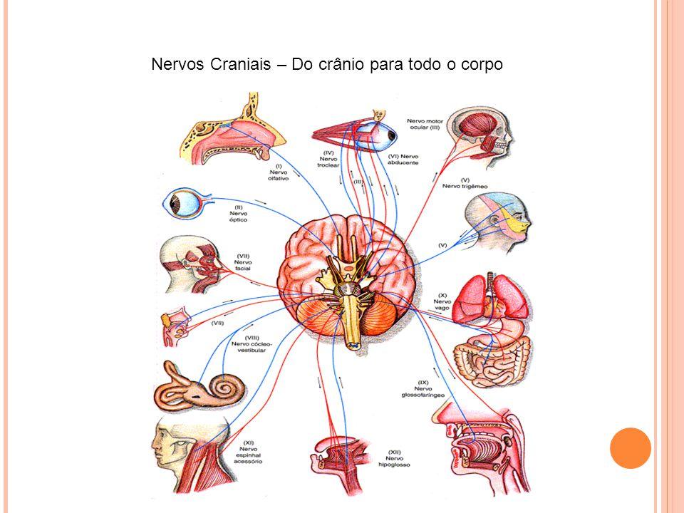 Nervos Craniais – Do crânio para todo o corpo